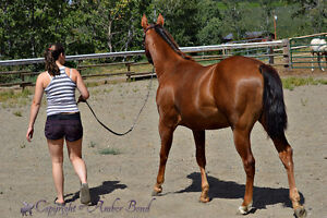 Super well but together AQHA Mare