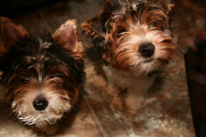 Two for one  pure bred Biewer Terriers ready for new homes