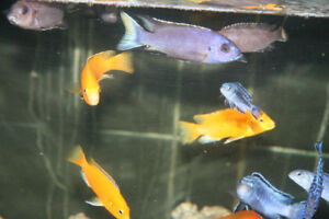 Blue Acei Ngara white tail, african cichlids