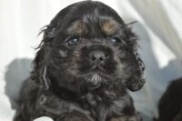 American Cocker Spaniel puppies for sale ONLY 1 BOY LEFT !!