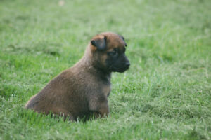 Belgian Malinois Puppies KNPV Lines.