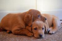 CKC Labrador Puppies