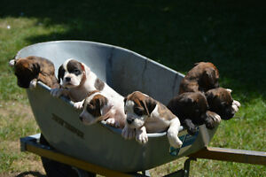 Boxer Puppies For Sale 6 Males Still Available