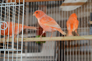 red factory canary for sale
