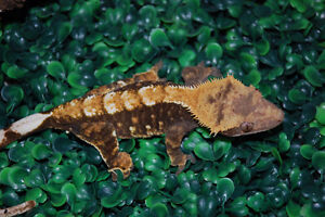 8 Female Crested Geckos - READY TO BREED