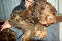 +LABRADOODLES+F1+2CHOC FEMALES+REDUCED+PLUS NEW LITTER OF F1B+