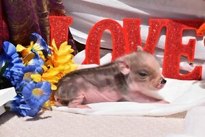 Registered Mini Pet Pigs- Accepting Deposits for 2017