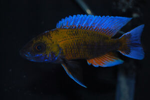 Delivery $35 Big selection of African cichlids