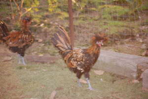 Golden Polish Roosters for sale