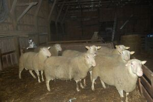 Registered Rideau Arcott Yearling Rams For Sale