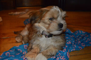 Adorable Teddy Bear Puppies hypoallergenic and non shedding .