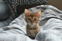 9 week old Bengal Kitten needs a new home