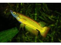 Golden Killifish for sale £2 !