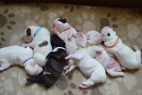 7 Purebred American Boxer Puppies  White & Sealed Brindle