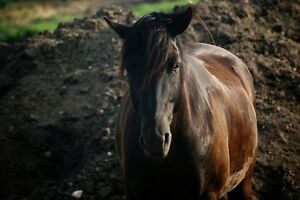 9 Year old Canadian Gelding offered for part board