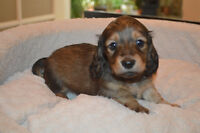 CKC REGISTERED MINI LH DACHSHUNDS