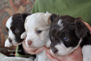 Havanese Puppies- CKC Reg. Home raised with kids-hypoallergenic