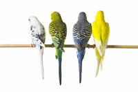 6 BUDGIES WITH BEAUTIFUL CAGE & ACCESSORIES