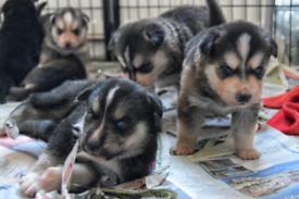Rottsky puppies (husky x rottweiler)