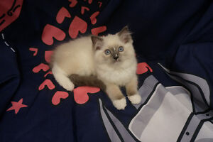(1 Available) Purebreed Ragdoll from MartianRagdolls