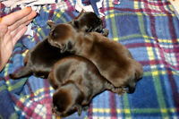 Gorgeous Chihuahua PURE Puppies! Just Born