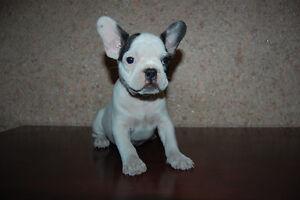 Wonderful French Bulldog