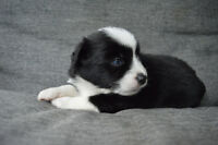 Miniature Australian Shepherd Puppies - See add for pricing