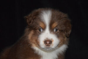 Only THREE Stunning Mini Aussies Left! Ready This Weekend!