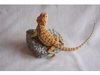 Young bearded dragon