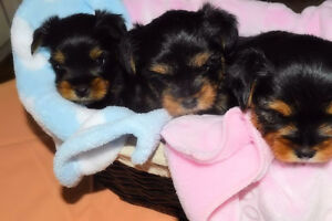 Yorkie Beautiful Female and Male Available