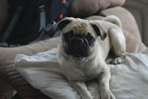 Beautiful Female Pug for sale 6 month old