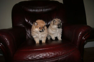 BURE PREED POMERANIAN PUPPIES FOR SALE