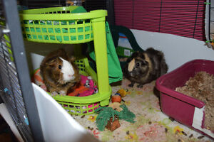 2 female guinea pigs and accessories