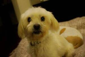 Lacey – small female Maltese cross Penrith Penrith Area Preview