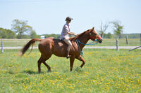 QH gelding needs a forever home