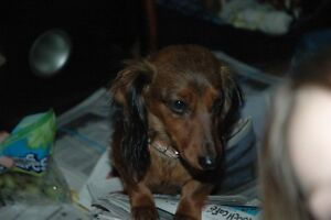 Lost! please hlep us find her!she is a long hair mini dachshund