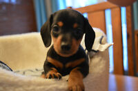 Miniature Dachshund puppies piebald and solid color available