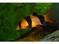 Tropical fish ( 5 X clown Loach £20)