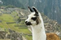 Looking for a llama