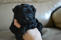 2 Beautiful little males Maltipoo's puppies for sale ONLY 1 LEFT