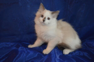TICA registered Ragdoll kitten, extra long hair