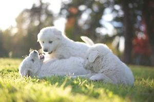 Maremma Sheepdog  Live Stock Guardian breed