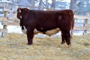 Polled Hereford Bulls for Sale
