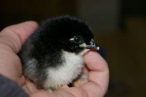 Purebred Chicks