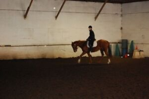 Looking to TRADE well broke thoroughbred for an older horse