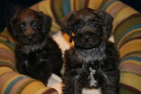 Only 2 little boys left !! Snoodle Puppies ReADY TO GO