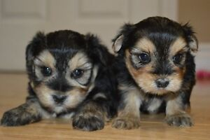 2 puppies ready in 2 weeks