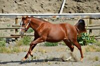 Peppy San Badger and doc Quixote ON PAPERS AQHA