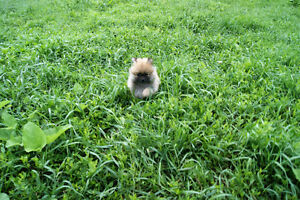 Tiny PUREBRED Brown male and female Pomeranian puppie for sale!!
