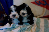 Havanese purebred puppies in assorted colors